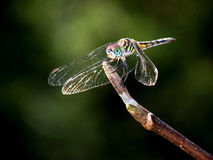 Dragonfly. Sitting on a branch Stock Photo