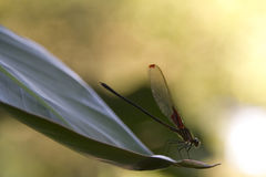 Dragonfly. The lightness and softness of a small insect landed on a leaf Stock Photos