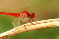 Dragonfly 01 Obraz Stock