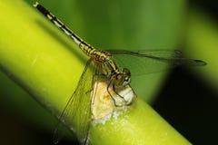 dragonfly 02 Стоковые Изображения RF