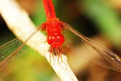 dragonfly 02 Стоковое Изображение