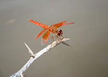 Dragonfly. Orange dragonfly on branch, like blur background Stock Images