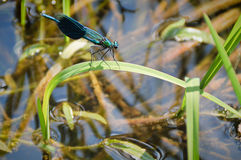 Free Dragonfly Stock Photo - 50930080