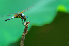 Dragonfly. Resting on a lotus branch by a pond Royalty Free Stock Images