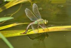 Dragonfly и отражение императора Стоковые Изображения