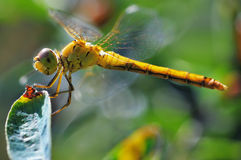 Dragonfly. Stock Images