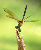 Dragonfly. Landing on the end of a stick Royalty Free Stock Photography