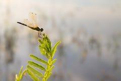 Dragonfly Стоковое Изображение