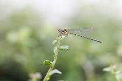 Dragonfly 304 Obraz Stock
