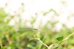Dragonfly 271 Fotografia Stock