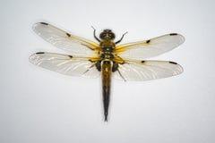 Dragonfly Obrazy Stock