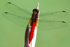 Dragonfly. Red-tailed dragonfly resting on blade of grass royalty free stock photo
