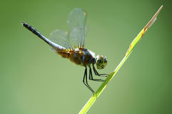 Dragonfly. On a blade of grass royalty free stock photo