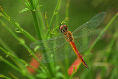 Free Dragonfly Stock Image - 7323631