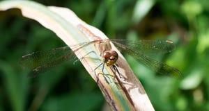 Dragonfly Fotografia Royalty Free