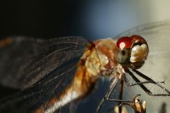 Dragonfly Fotografia Royalty Free