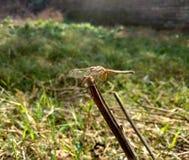 Dragonfly Стоковое Фото