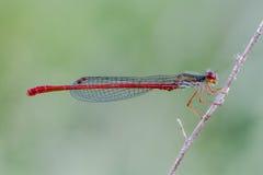 Dragonfly Obraz Stock