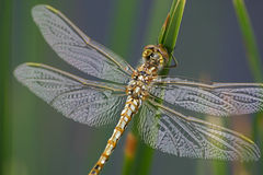 Dragonfly. Macro shot of a dragonfly Royalty Free Stock Photography