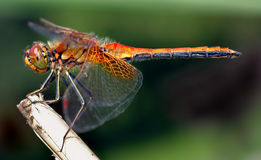 Dragonfly. Closeup stock image