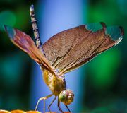 Free DragonFly Royalty Free Stock Photo - 94088915