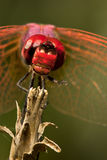 Dragonfly. Portrait of a red Dragonfly Royalty Free Stock Photo