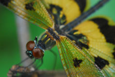 Dragonfly action. The red dragonfly stare and poke  you with his big eyes Stock Images