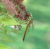 Dragonfly Aeshna affinis (female) Stock Image