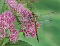Dragonfly Aeshna affinis (female) Royalty Free Stock Photography