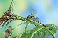 Dragonfly Aeshna affinis (female) Royalty Free Stock Images