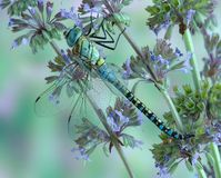 Dragonfly Aeshna affinis (male) Stock Images