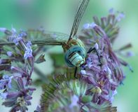 Dragonfly Aeshna affinis (male) Royalty Free Stock Image