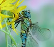 Dragonfly Aeshna affinis (male) Stock Photography
