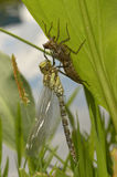 Dragonfly aeshna cyanea hatched. Recently hatched dragonfly aeshna cyanea sitting on its exuvia on a green leave near water, closeup, flash, outdoor Stock Photos