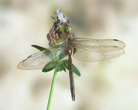 Dragonfly Aeshna isoceles (male) Royalty Free Stock Photo