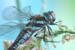 Dragonfly Aeshna mixta (female) Royalty Free Stock Photo