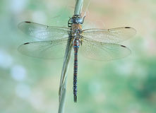 Dragonfly Aeshna mixta (female) Royalty Free Stock Images