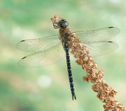 Dragonfly Aeshna Mixta (male) Stock Images