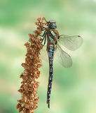 Dragonfly Aeshna mixta (male) Royalty Free Stock Photos