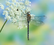Dragonfly Aeshna mixta (male) Royalty Free Stock Images