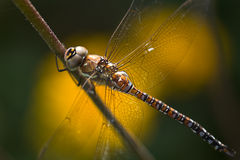 Dragonfly Aeshna mixta or Migrant hawker Stock Image