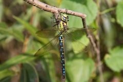 Dragonfly. Aeshnidae hawker dragonfly on a branch stock photos