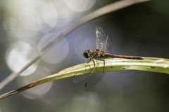 Dragonfly against reflected light royalty free stock image