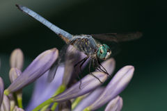 Dragonfly On Agapantha Flowers. Dragonfly perched on agapantha flower cluster captured at a botanical garden stock image