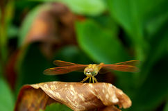 Dragonfly. In Ahmadabad Gujarat, India stock photography