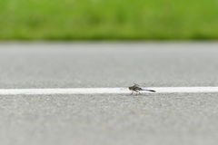 Dragonfly on airport runway Royalty Free Stock Photos