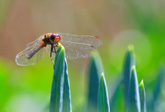 Dragonfly among the aloe leaves Royalty Free Stock Images
