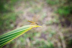 Dragonfly alone backgrounds Royalty Free Stock Image