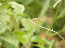 Dragonfly with blurred background. Dragonfly also called as Anisoptera with blurred background Stock Images