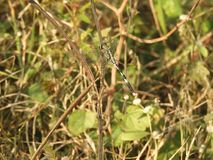 Dragonfly with blurred background. Dragonfly also called as Anisoptera with blurred background Stock Photography